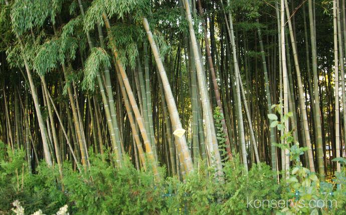 Бамбуки в Батуми