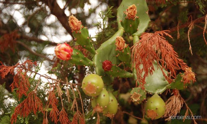Тут цветут кактусы