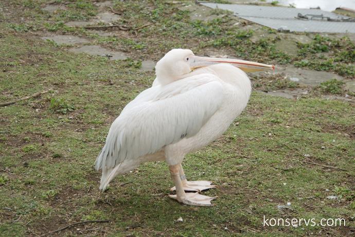 Пеликан в Гайд-парке